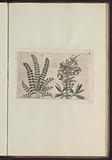 Lesser burnet (Sanguisorba minor) and large snapdragon (Antirrhinum majus)