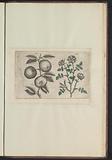 Apple (Malus pumila) and dog rose (Rosa canina)