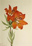 Red Lily (Lilium montanum)
