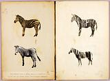 Zebras, study folder for book Concealing Colouration in the Animal Kingdom