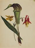 Untitled (Jack in the Pulpit)