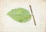 Jagged Leaf Edge Caterpillar, study for book Concealing Colouration in the Animal Kingdom