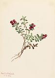 Mountain Cranberry (Vaccinium vitisdaea minus)