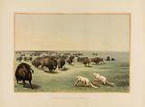 Buffalo Hunt, under the White Wolfskin – no. 13.