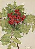 Western Mountain Ash (Sorbus sambucifolia)