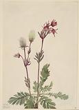 Prairie-Smoke (Sieversia ciliata)