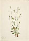 Gray Ragwort (Senecio canus)
