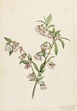 Pineland Blueberry (Vaccinium tenellum)
