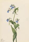 Western Bluebells (Mertensia paniculata)