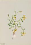 Alpine Ragwort (Senecio species)