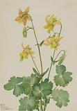 Lemon Columbine (Aquilegia flavescens)