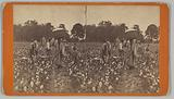Stereograph of people picking cotton in a field