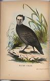 Rice's Crow