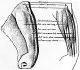Clay model of forearm