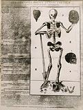 A skeleton seen from the front, resting the bones of the right forearm on a spade and holding a skull aloft in its …