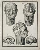 Wax models of the head and neck (figs 1–3), and of the right hemisphere of the brain (figs 4–5), made by G G Zumbo