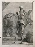 An écorché figure, back view, with left arm extended, showing the bones and the fourth order of muscles, with a …