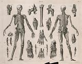 Two écorché figures, with details of miscellaneous bones and muscles: twenty-one figures