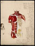 Dissection of the trunk: front view, showing the bones and muscles, with a small sketch of a woman's face