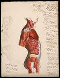 Dissection of the trunk: side view, showing the bones and muscles, with small pencil sketches of a nude in various poses