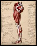 Muscles of the leg and foot: side view