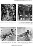 Kenyan dart-poison including scoring upas trees etc