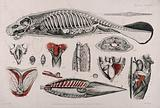Dissection of a seal (or manatee?): fourteen figures showing the skeleton, internal organs and circulatory system