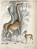 Two giraffes eating from the crown of trees with a gazelle standing nearby