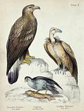 Left, a Bearded Vulture, middle, an Osprey, right, a Griffon Vulture