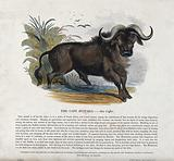 A Cape buffalo standing in shallow water