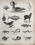 Above, two reef building corals (millepora), a diving bird, a narwhal (monodon), a mollusc and a musk deer