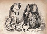 Three monkeys: wanderoo, howling monkey and diana
