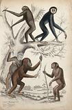 Two gibbons are climbing a tree while a chimpanzee and two orang-utans are playing with thr branches of the tree on …