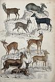 Nine different specimen of the family of antelopes (Bovidae) shown in a rock strewn habitat
