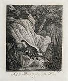 A wild cat lying in wait for prey on a rock near a river