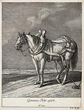 A wagon horse with blinkers, yoke and girth standing in a field with its girth tied to the ground