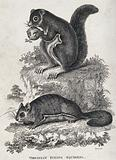 Two Virginian flying squirrels sitting on a rock