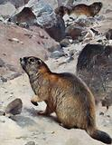 A marmot sitting in a rocky landscape with a couple of marmots sitting in the background