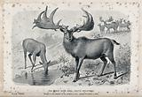 The male and female Irish elk (Cervus megaceros), now extinct