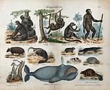 Thirteen different mammals ranging from apes, rodents and marsupials to a whale