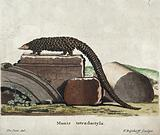A pangolin or scaly anteater
