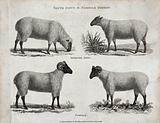 A ram and ewe of the South Down and Norfolk breeds of sheep