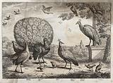 A bustard, peacock and peahen, stock dove and squirrel in the grounds of a large house