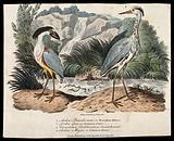 A crested boatbill (Cancroma cochlearia) and common heron (Ardea cinerea)