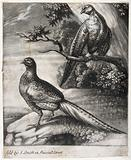 A male and a female pheasant