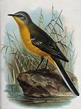 A bird: a yellow wagtail (Motacilla raii)