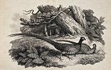 A male and female pheasant