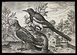 Two birds, one a magpie, set in natural surroundings