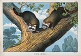 North America: two racoons sitting on a tree looking a snake