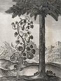 A vine bearing four pear-shaped gourds and a date palm